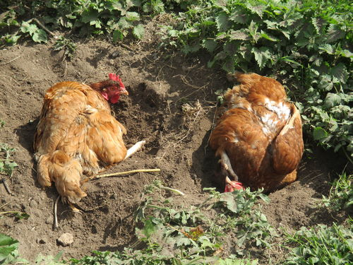 Hot Weather Essentials And Poultry Pests