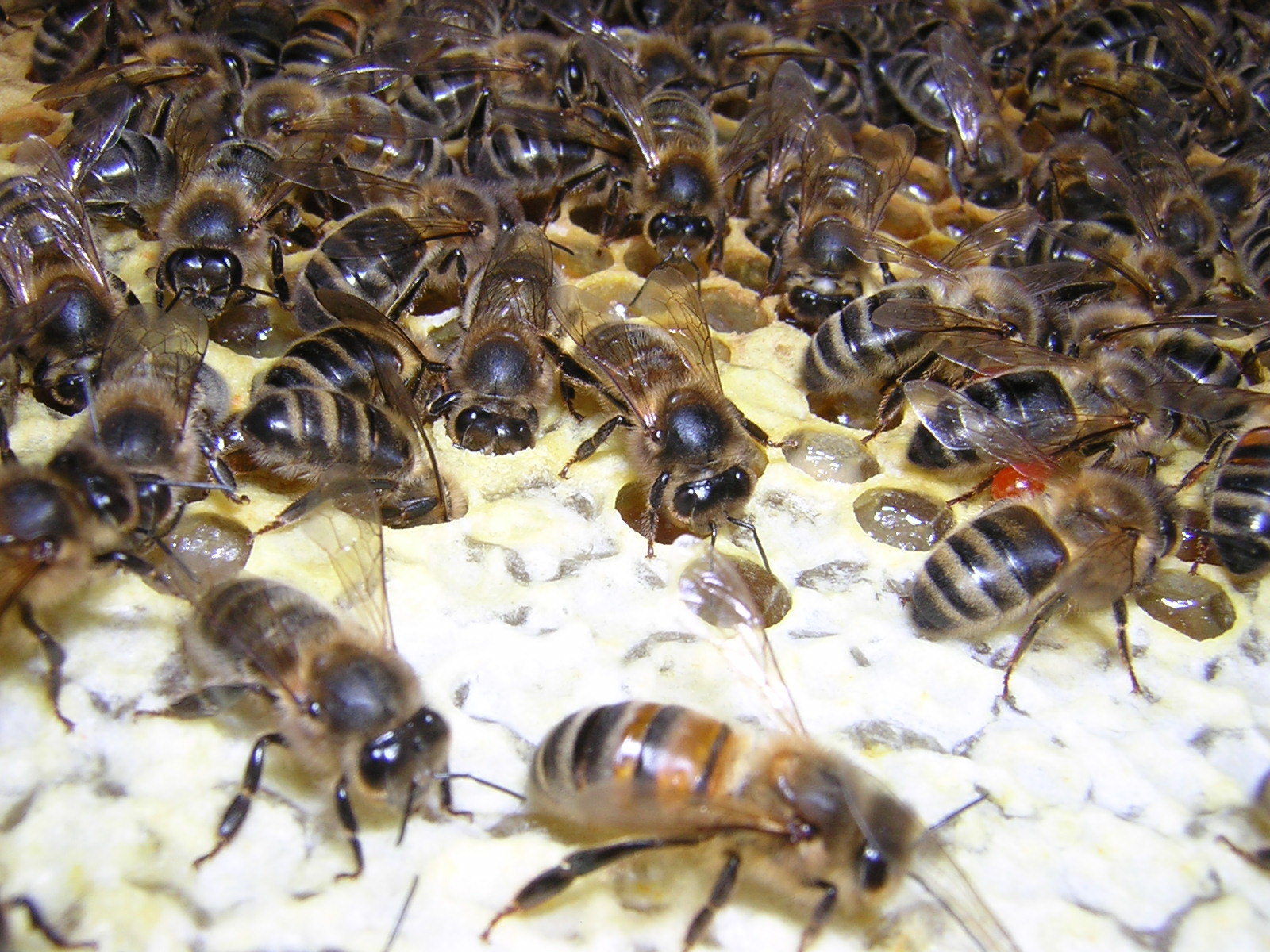 Bees_on_comb_AM_May_2015