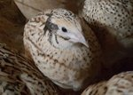 Golden Quail For Sale