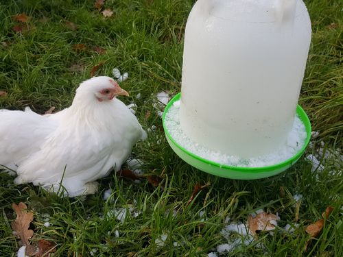 Winter Poultry Care Fact Sheet