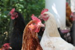 New to chickens Essential Check List