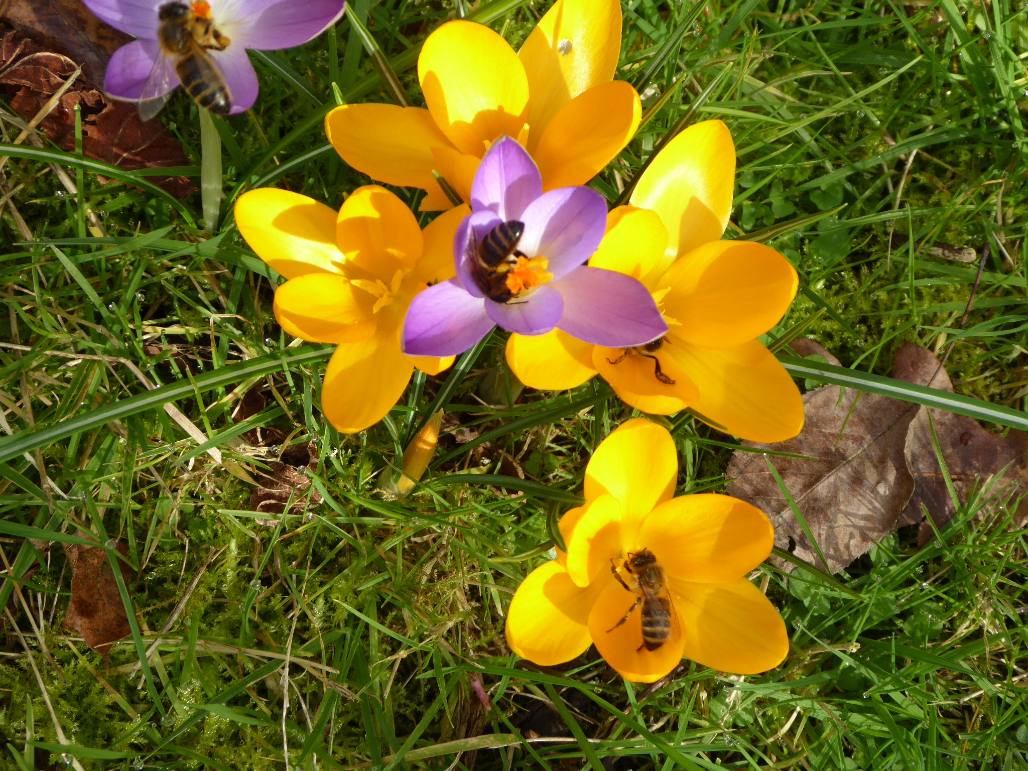 Bee_on_Crocus_March19