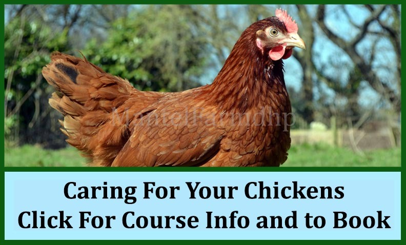 Caring_For_Your_Chickens_Header