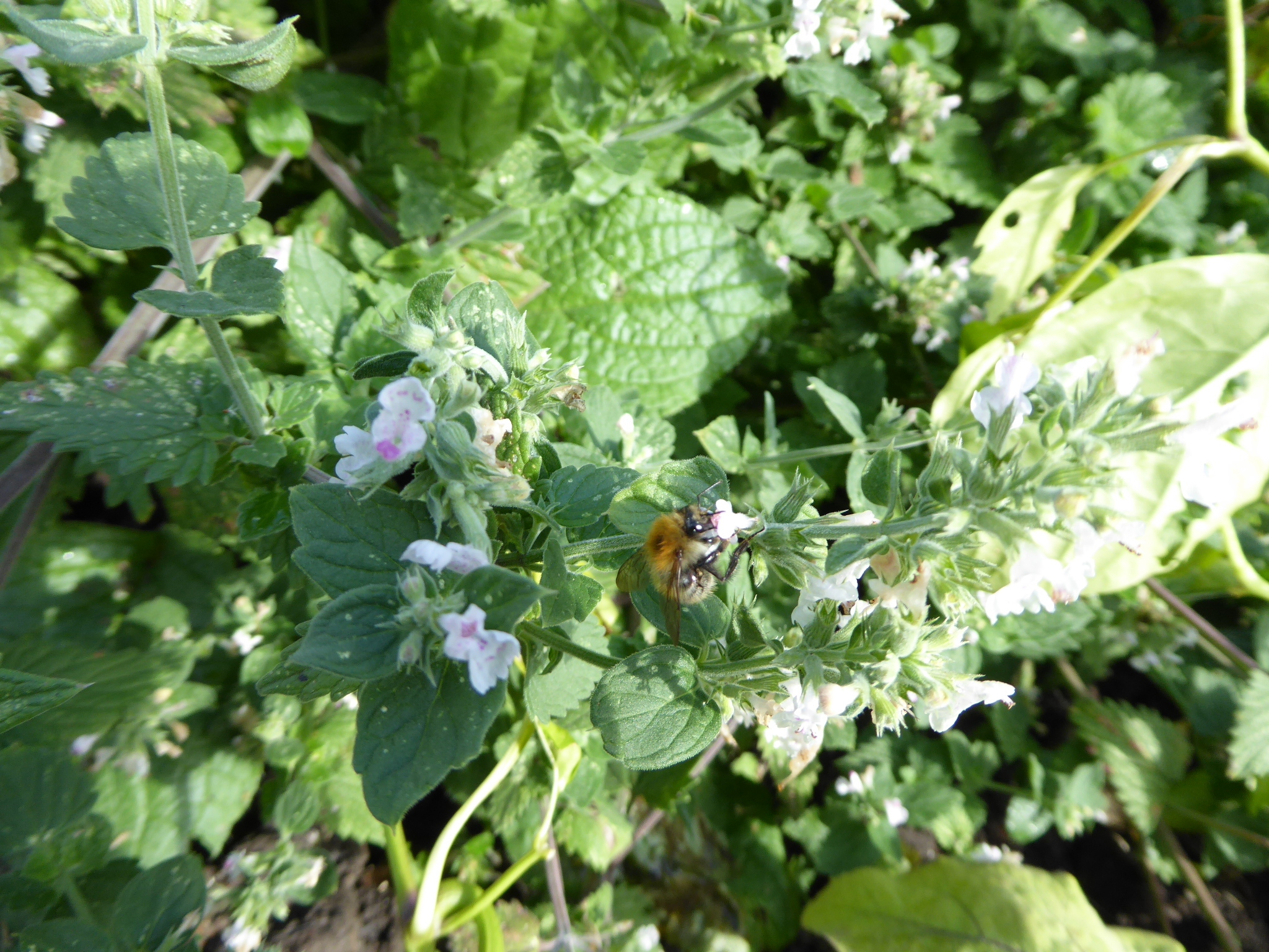 Catnip_with_Carder_bumblebee_AM_Oct18