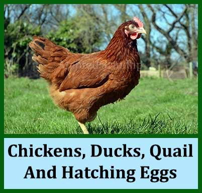 Chickens,_Ducks,_Quail_And_Hatching_Eggs_JPEG