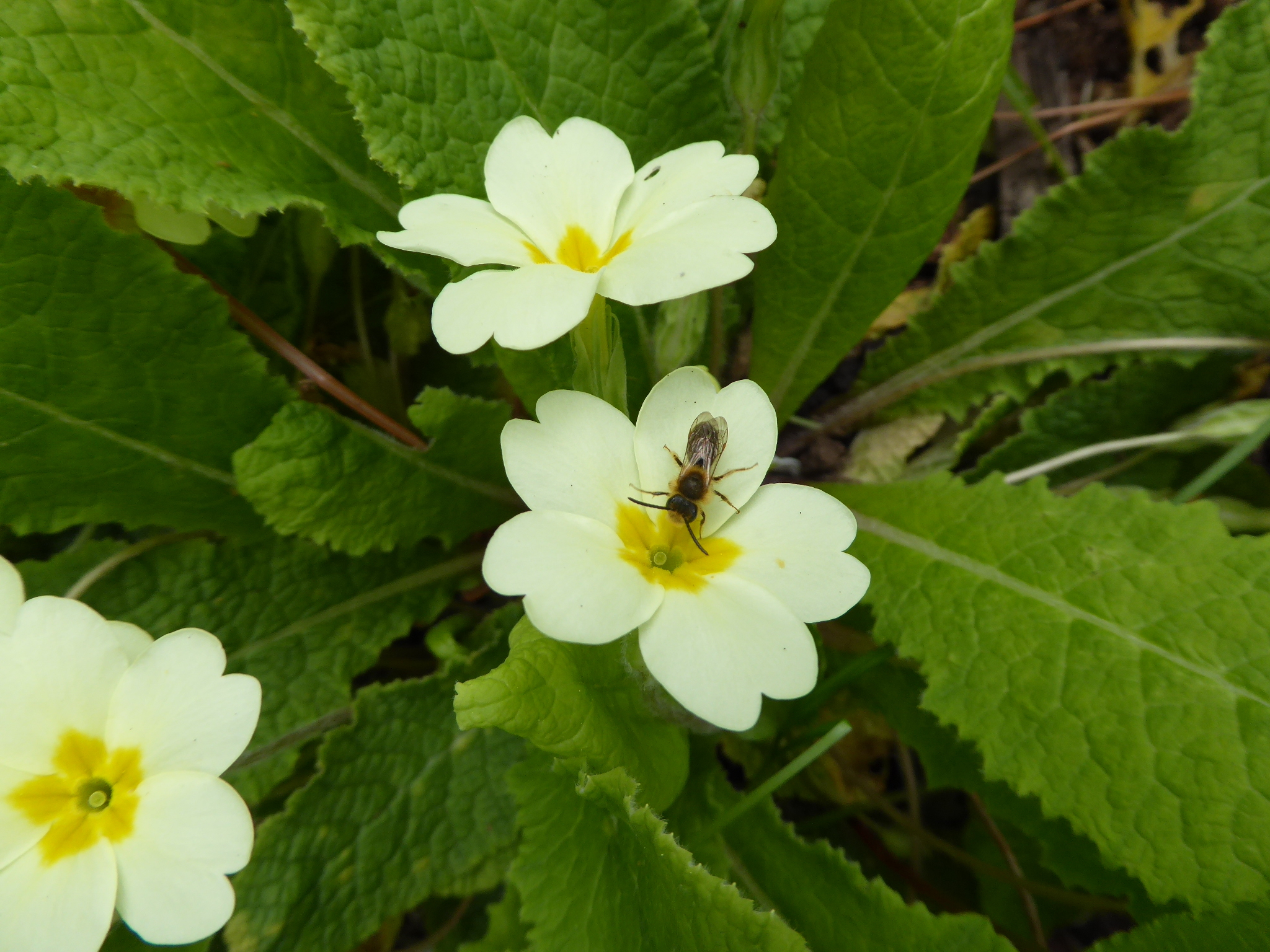 Solitary_Bee_on_a_Primrose_May18