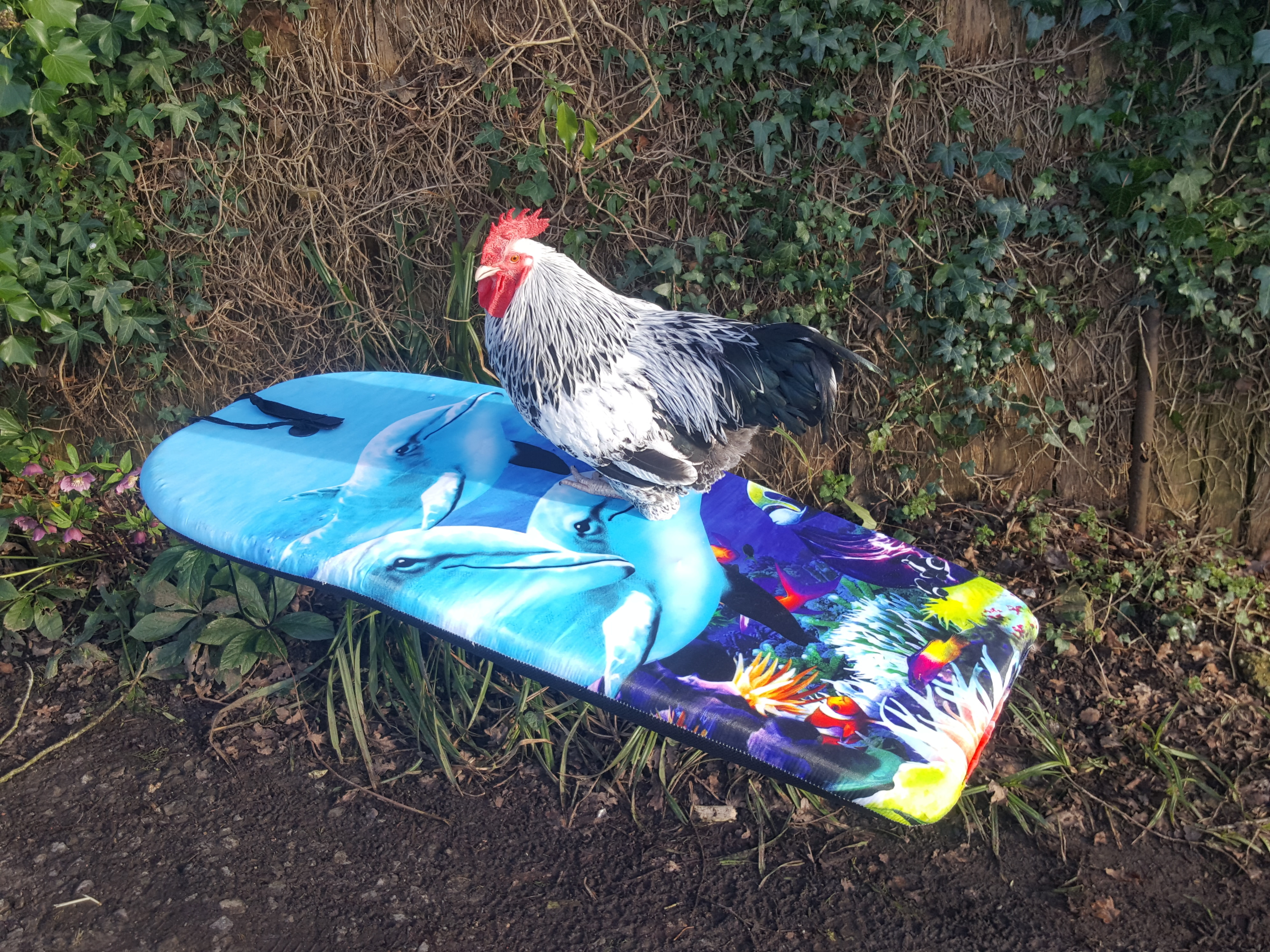 Surfing_for_poultry