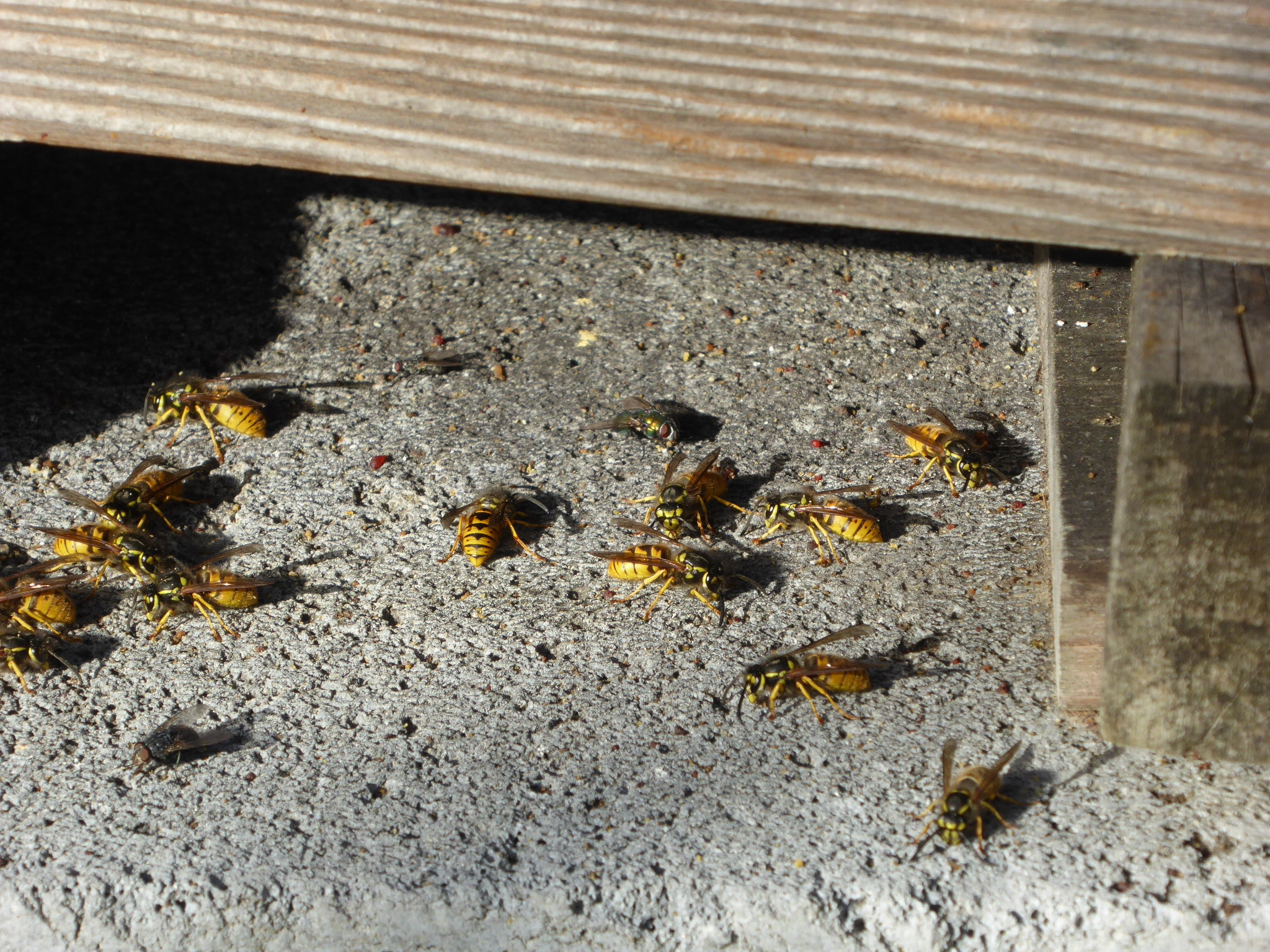 Wasps_beneath_hive_Dec18