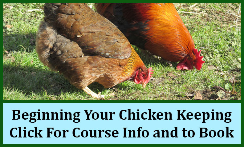 cat_beginning_your_chicken_keeping_course